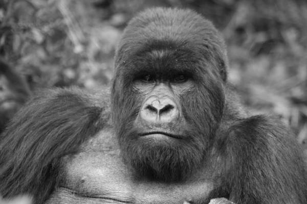 Wall Art - Photograph - Silverback Mountain Gorilla by Bruce J Robinson