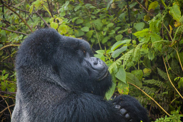 Kigali Wall Art - Photograph - Silverback Up Close by Paul Weaver