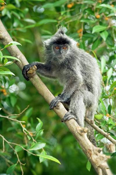 Old World Monkey Photograph - Silvered Leaf Monkey by Tony Camacho/science Photo Library