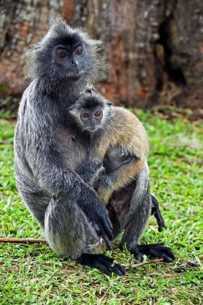 Silvery Photograph - Silvered Leaf Monkeys by Tony Camacho/science Photo Library