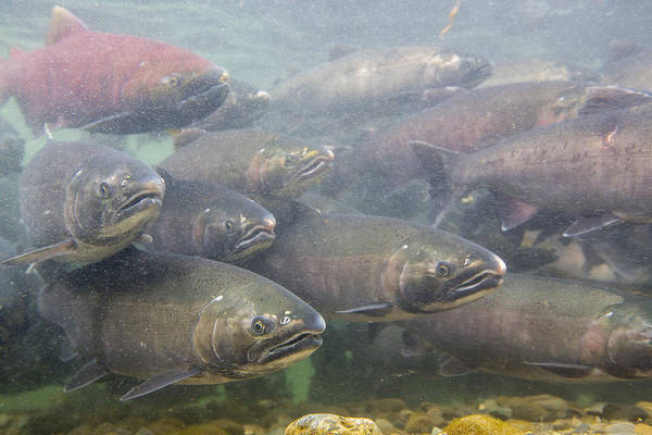 Chinook Salmon Photograph - Silvers And Kings by Tim Grams