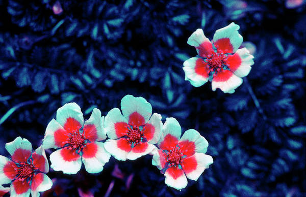 Cinquefoil Photograph - Silverweed In Uv Light by Bjorn Rorslett/science Photo Library