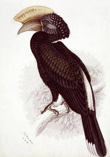 Hornbill Photograph - Silvery-cheeked Hornbill by Natural History Museum, London/science Photo Library