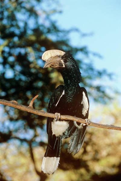 Silvery Photograph - Silvery-cheeked Hornbill by Tony Camacho/science Photo Library