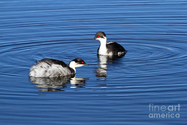 Photograph - Silvery Grebes by James Brunker