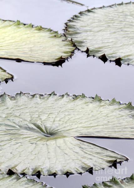 Photograph - Silvery Sage Green Lily Pads by Sabrina L Ryan
