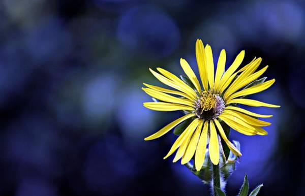 Photograph - Simple Sunflower by Jp Grace