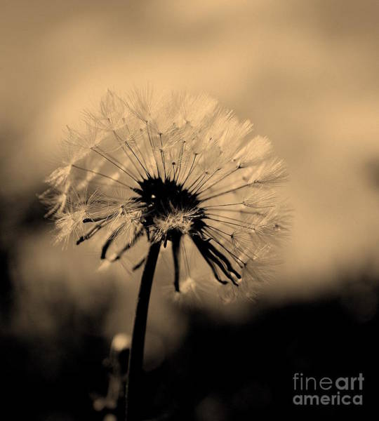 Dandelion Puff Photograph - Simplicity by Julie Lueders