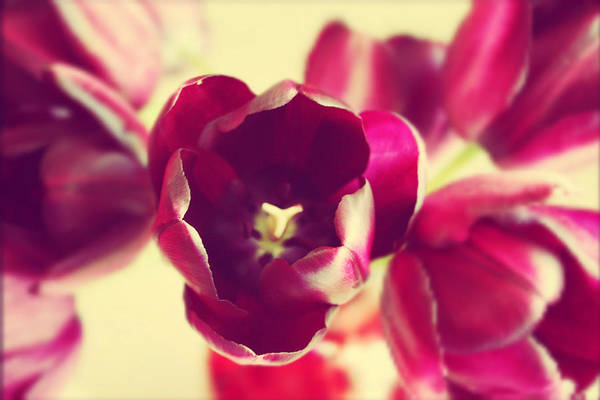 Wall Art - Photograph - Simplicity Of Tulips by Cathie Tyler