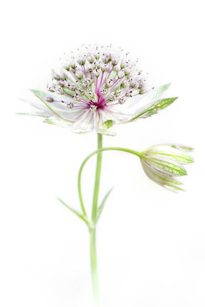 Astrantia Photograph - Simply Astrantia by Jacky Parker