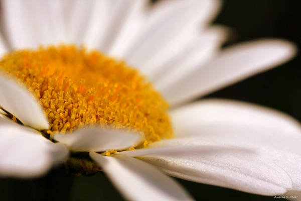 Photograph - Simply Daisy by Andrea Platt
