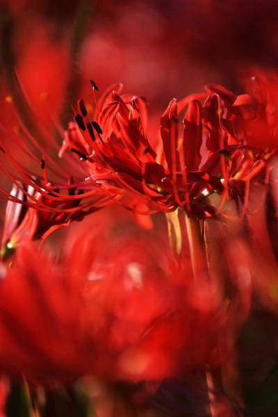 Hurricane Lily Photograph - Simply Red by Joe Bledsoe