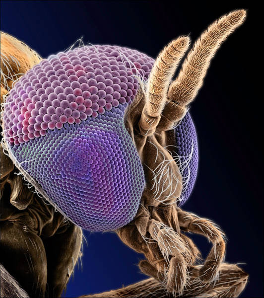 Compound Eyes Photograph - Simulian Blackfly by Natural History Museum, London