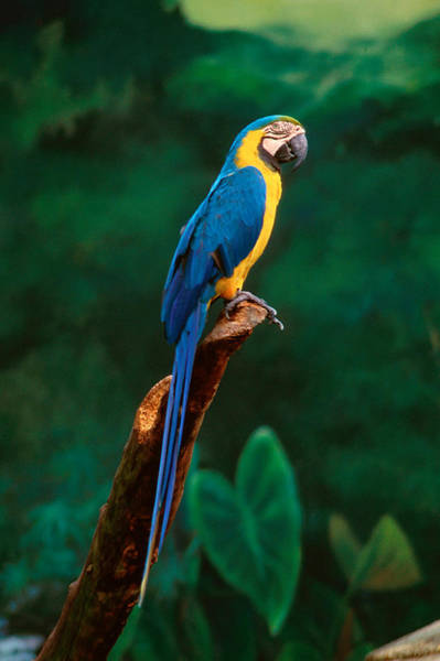 Ornithological Photograph - Singapore Macaw At Jurong Bird Park  by Anonymous