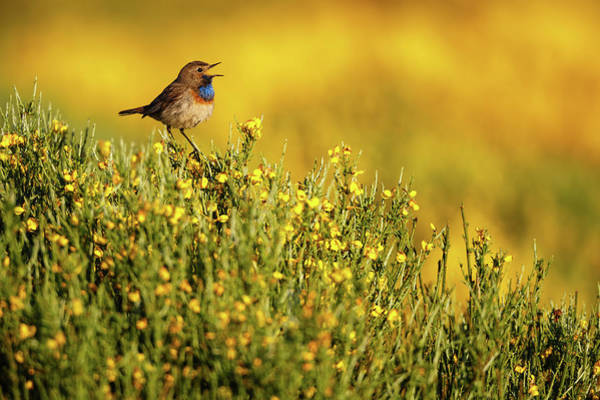 Sing Photograph - Singing Bluethroat by Mario Su?rez