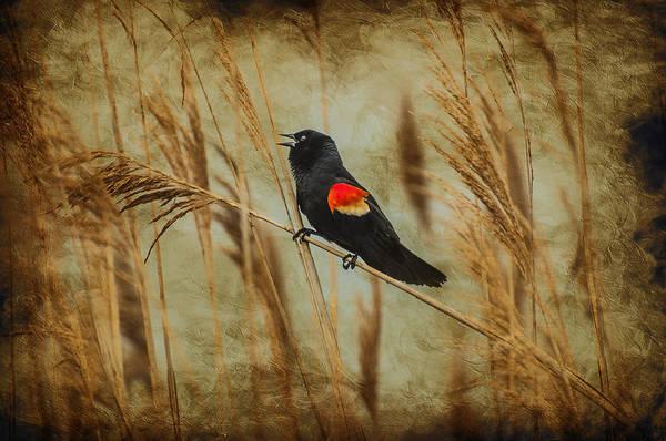 Singing Red Wing Art Print