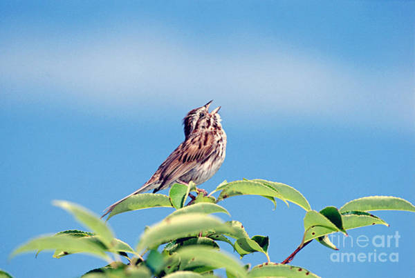 Tweets Photograph - Singing Song Sparrow by John W Bova