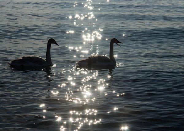 Photograph - Singing Trumpeter Swans Duet  by Georgia Mizuleva