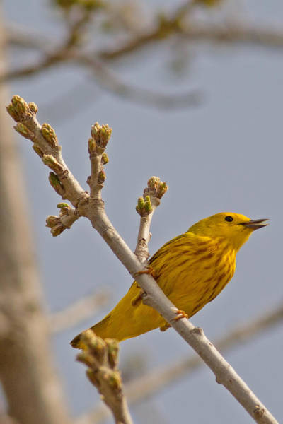 Horicon Marsh Photograph - Singing Yellow Warbler by Natural Focal Point Photography