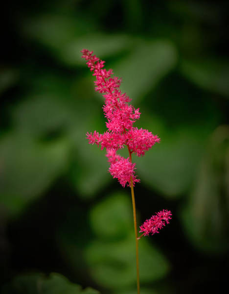 Photograph - Single Astilbe by Robert Mitchell