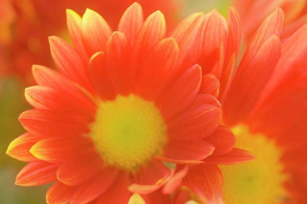 Hybrid Photograph - Single Chrysanthemum 'macho' by Maria Mosolova/science Photo Library