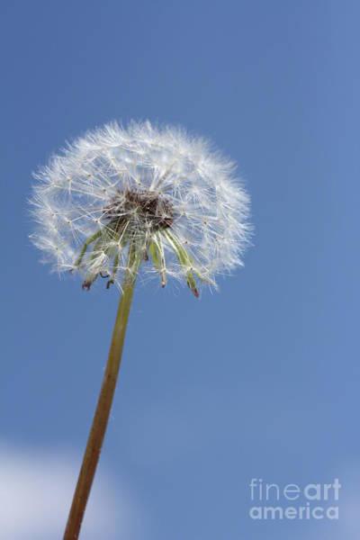 Photograph - Single Dandelion by Rachel Duchesne