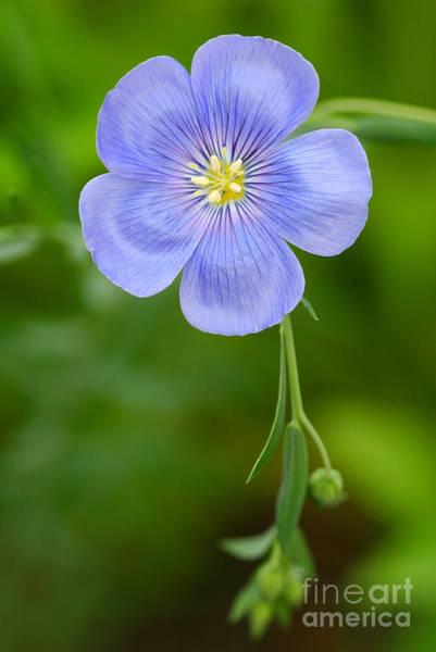 Photograph - Single Flower Blue Flax by Steve Augustin