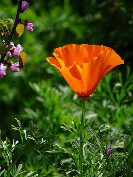 Photograph - Single Open Golden Poppy  by Jeff Lowe