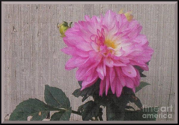 Photograph - Single Pink Dahlia by Charles Robinson