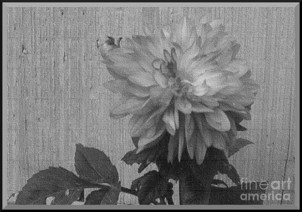 Photograph - Single Pink Dahlia Monochrome by Charles Robinson