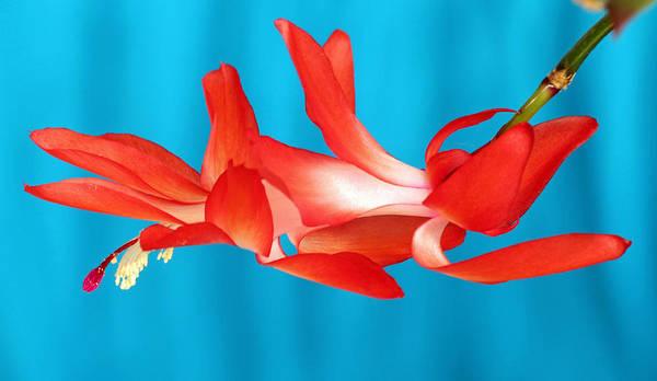 Photograph - Single Red Bloom by E Faithe Lester