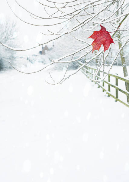 Maple Photograph - Single Red Leaf by Amanda Elwell