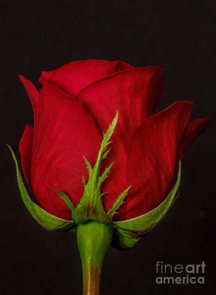 Passionate Photograph - Single Red Rose by Mitch Shindelbower