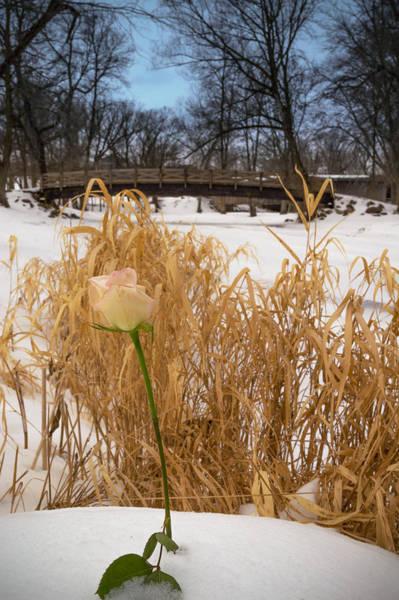 Photograph - Single Rose In Covered Bridge Park by James  Meyer