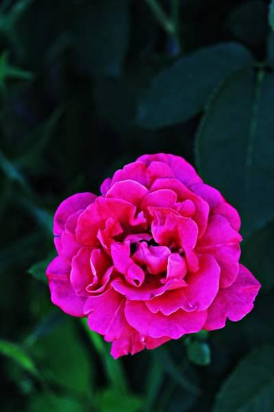 Photograph - Single Rose by Jp Grace