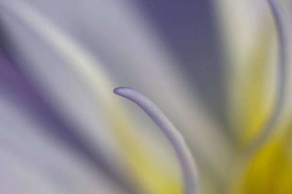 Photograph - Single Stamen by Wes and Dotty Weber