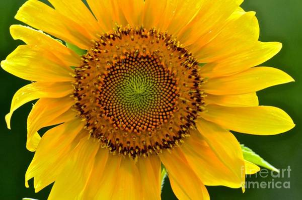 Photograph - Single Sunflower by AnnaJo Vahle
