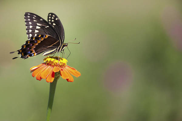 Photograph - Single Swallowtail Palamedes Butterfly by Jo Ann Tomaselli