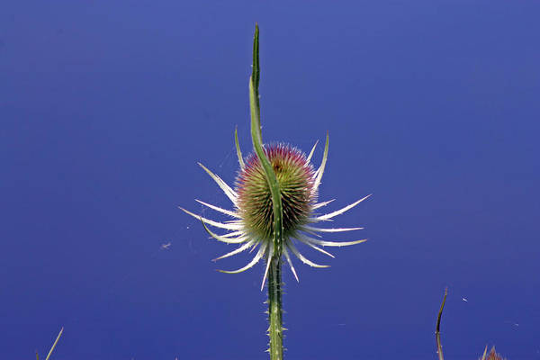 Single Teasel Art Print