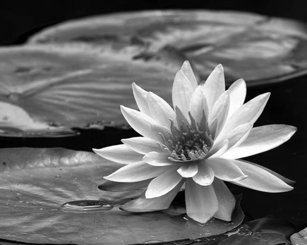 Photograph - Single Water Lily Blossom by Dawn Currie