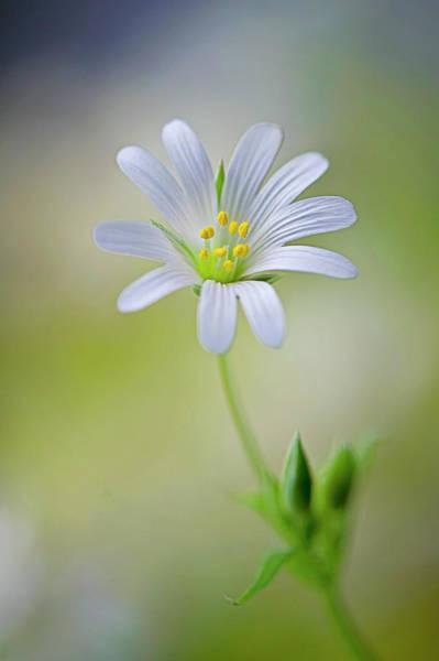 Photograph - Single White Greater Stitchwort Flower by Jacky Parker Photography