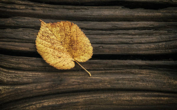 Orange Wood Photograph - Single Yellow Birch Leaf by Scott Norris
