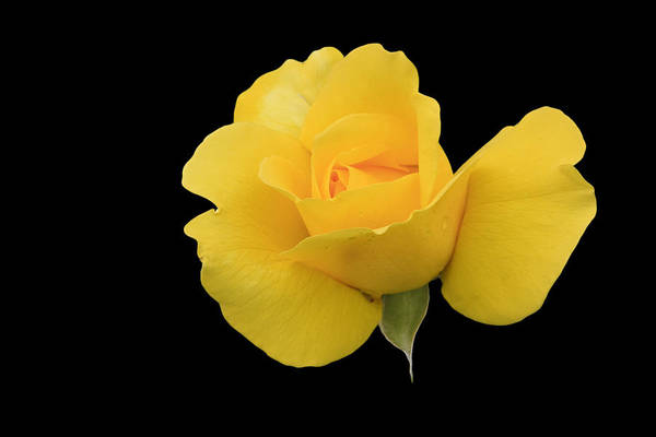 Photograph - Single Yellow Rose by Susan Leonard