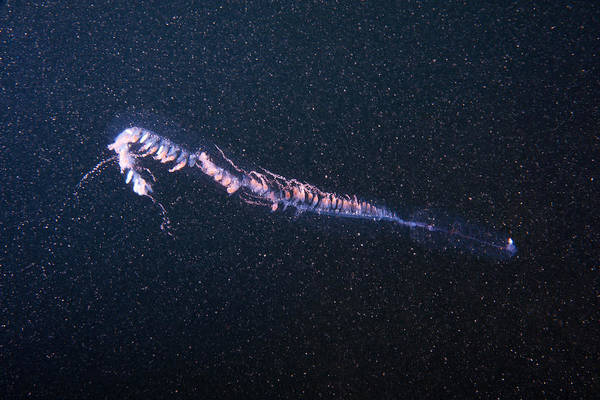 Siphonophore Photograph - Siphonophore by Andrew J. Martinez