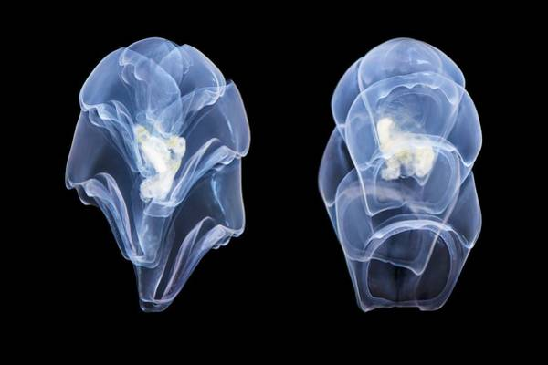 Siphonophore Photograph - Siphonophore (hippopodius Sp.) by Alexander Semenov/science Photo Library