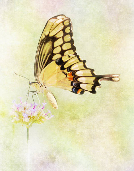 Swallowtail Photograph - Sipping Nectar by David and Carol Kelly