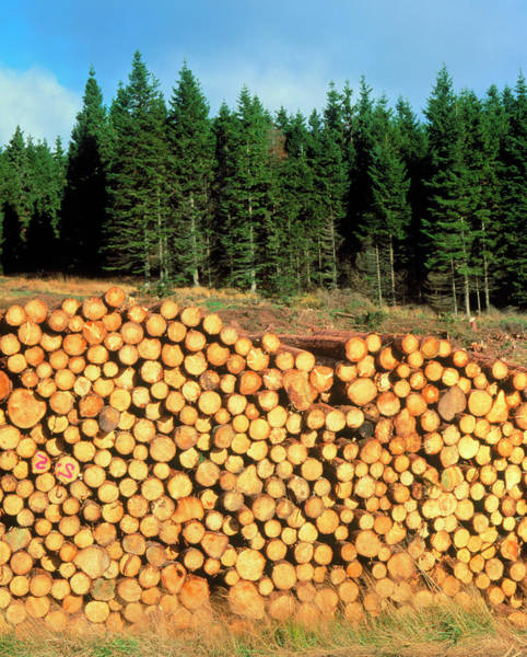 Spruce Photograph - Sitka Spruce And Harvested Timber by Simon Fraser/science Photo Library