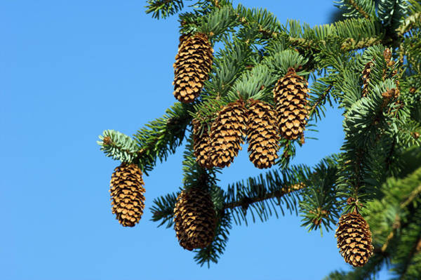 Spruce Photograph - Sitka Spruce (picea Sitchensis) by Duncan Shaw/science Photo Library