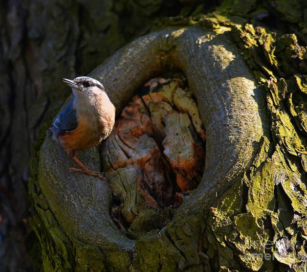 Photograph - Sitta Europaea Sitting On The Tree by Jaroslaw Blaminsky