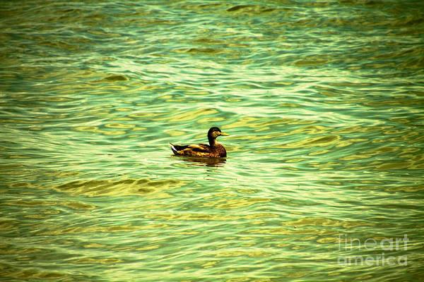Photograph - Sitting Duck by William Norton